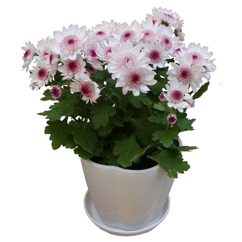 立泰悦达 荷兰菊 花卉 盆栽植物 绿色植物 室内植物 礼品花卉 花期长