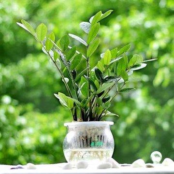 金钱树小盆栽 办公室室内盆景创意绿植 招财室内水培植物(玻璃盆)