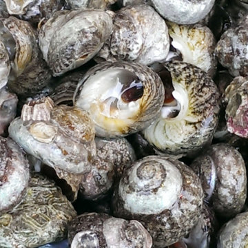 岛礼 香波螺(中) 波螺 500g 新鲜芝麻螺 大连鲜活海鲜 【大渔场】图片
