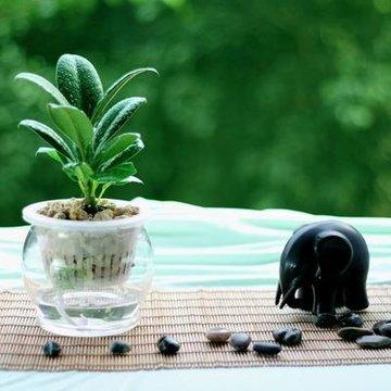 黑金刚水培盆栽 橡皮树 叶色黑绿 独具个性 推荐独特的你(玻璃盆)